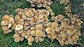 Sulphur Tuft. Hyphloloma fasiculare (49070025131).jpg