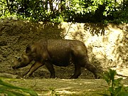 A Sumatran rhinoceros at the Bronx Zoo.