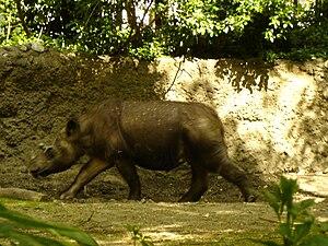 Dicerorhinus - Rapunzel, a Sumatran Rhino in the Bronx Zoo