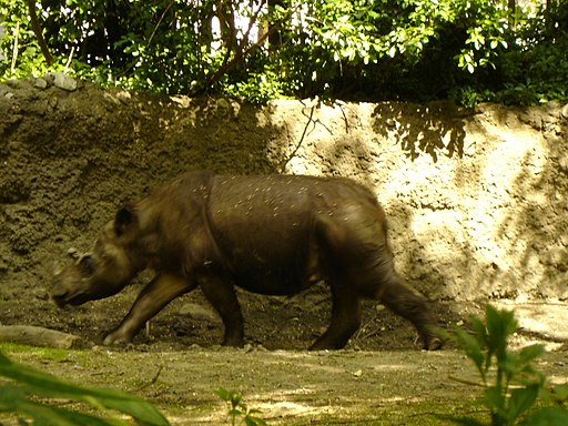 Sumatran Rhinoceros - Rapunzel