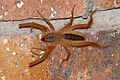 Sun Spider (Solifugae) (16255577778).jpg