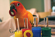 Sun conure parrot demonstrating parrots' puzzle-solving skills.