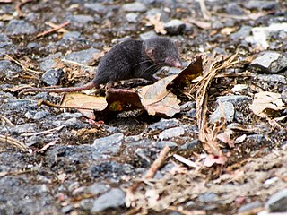 Sunda shrew Species of mammal