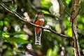 Surucuá-de-coleira fêmea (Trogon collaris) - Collared Trogon female.jpg