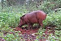 Sus scrofa - Wild boar during Periyar butterfly survey at Sabarimala, 2014 (37).jpg