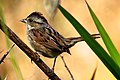 Swamp Sparrow (Melospiza georgiana) (6307262324).jpg