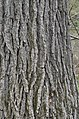 Swamp White Oak Quercus bicolor Bark Vertical 2.JPG