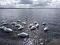 Swans at Lough Ennell Ladestown 1.jpg