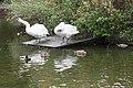 Swans in Herbert Park, Ballsbridge, Dublin (10600359074).jpg