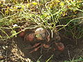 Sweet potatoes exposed - DSCF7300.JPG