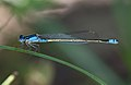 Sydney dragonfly Victoria Park pond 9.jpg