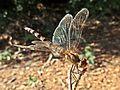Sympetrum striolatum (Common darter) female, Doorwerth, the Netherlands.jpg