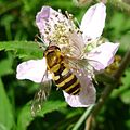 Syrphus ribesii - Flickr - gailhampshire (3).jpg