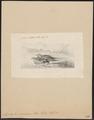 Syrrhaptes paradoxus - 1860 - Print - Iconographia Zoologica - Special Collections University of Amsterdam - UBA01 IZ16900057.tif