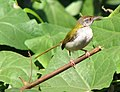 Tailor Bird (2299461805).jpg