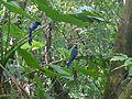 Taiwan blue magpie 2.jpg