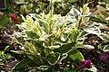 Talinum paniculatum Variegatum 0zz.jpg