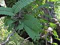 Tamarindus indica07.JPG