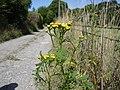 Tansy - Tanacetum vulgare - geograph.org.uk - 1166716.jpg