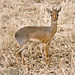 Kirk's Dik-Dik - Photo (c) Ikiwaner, some rights reserved (GFDL)