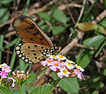 Tawny Coster (Acraea violae) in Talakona forest, AP W IMG 8655.jpg