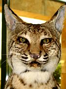 Taxidermied bobcat face.jpg