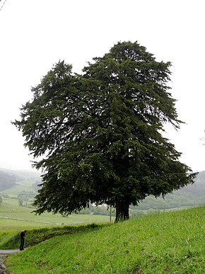 Description de l'image  Fichier:Taxus baccata tree.jpg .
