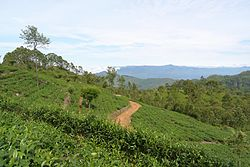 Tea plantation in Haputale