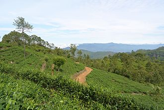 Tea production in Sri Lanka - Tea plantation (Dambatenne estates) at about 1800 m above sea level in Haputale, Hill Country