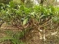 Tea tree 30118.jpg