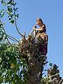 Tepakoul-Villageoise taillant un mûrier.jpg