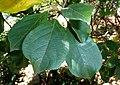 Terminalia phanerophlebia, loof, Manie van der Schijff BT, c.jpg