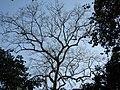 Tetrameles nudiflora Habit (6).jpg