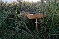 Texel - De Slufter - Macrolepiota procera - Parasol Mushroom - Parasolzwam about 40 cm high - Texel is a Mushroom Paradise.jpg