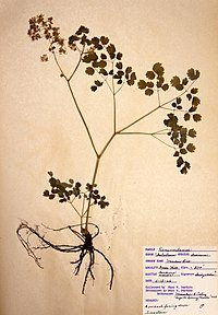 Thalictrum dioicum BW-1966-0515-0880.jpg