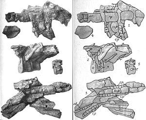 Nodosaurus - Vertebrae and armor of the holotype