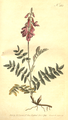 The Botanical Magazine, Plate 282 (Volume 8, 1794).png