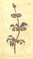 The Botanical Magazine, Plate 395 (Volume 11, 1797).png