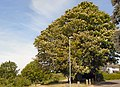 The Half Mile Tree, Lower Ham Road, Kingston.jpg