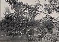 The Sudduth pear (1901) (20374413689).jpg