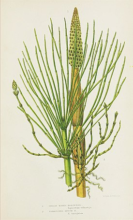 The ferns of Great Britain, and their allies the club-mosses, pepperworts, and horsetails (Pl. 40) (8515415351).jpg