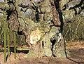 The hollow Major Oak, Sherwood Forest - geograph.org.uk - 1198785.jpg