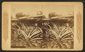 The pine apple of Florida, from Robert N. Dennis collection of stereoscopic views.png