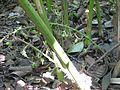 Thekkady, Cardomom Abrahams Spice Garden (2267500654).jpg