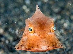 Thornback cowfish (Lactoria fornasini) (43629194360).jpg