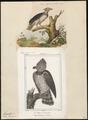Thrasaëtus harpyia - 1700-1880 - Print - Iconographia Zoologica - Special Collections University of Amsterdam - UBA01 IZ18100293.tif