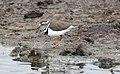 Three-banded Plover (Charadrius tricollaris) (45677533915).jpg