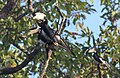 Three great hornbills in Dandeli.jpg
