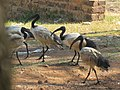 Threskiornis aethiopicus (29779768017).jpg