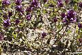 Thymus praecox bethisy-saint-martin 60 18062008 3.jpg